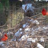 Cardinal 7