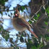 Cardinal 8