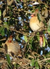 Cardinals in a bush 2