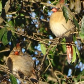 Cardinals in a bush 2