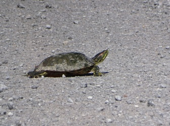 Red-eared Slider 1