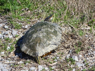 Red-eared Slider 2