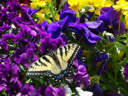 Eastern Tiger Swallowtail on pansies 1
