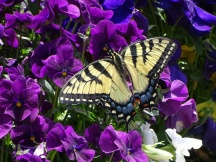 Eastern Tiger Swallowtail on pansies 2