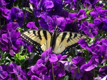 Eastern Tiger Swallowtail on pansies 3
