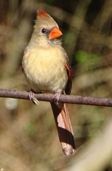 Female cardinal 3