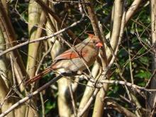 Female cardinal 4