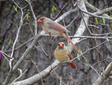 Female cardinal 5