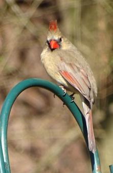 Female cardinal 6