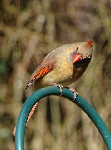 Female cardinal 8