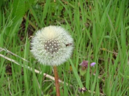 dandelion seed head 4