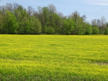 Field of Bulbous Buttercup