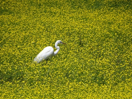 Great Egret standing in Bulbous Buttercup 1