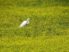 Great Egret standing in Bulbous Buttercup 2