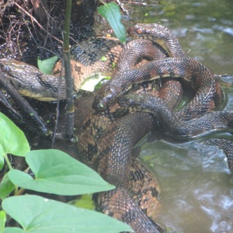 An abundance of snakes | walking on a country road