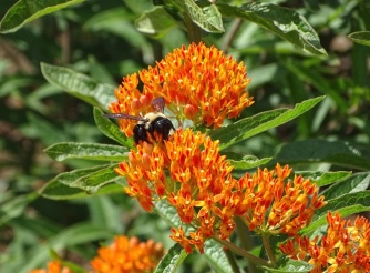 Bumble bee on Orange butterfly weed