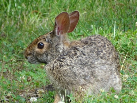 Bunny in a clover patch 1