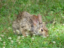 Bunny in a clover patch 2