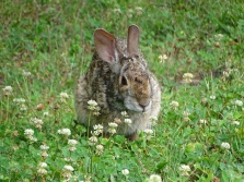 Bunny in a clover patch 4