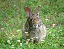 Bunny in a clover patch 5