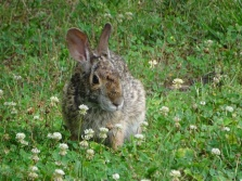 Bunny in a clover patch 6