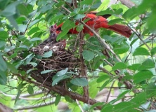 Cardinals tending to their babies 1