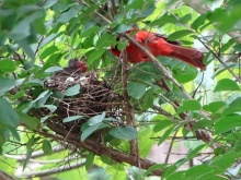 Cardinals tending to their babies 10