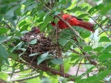 Cardinals tending to their babies 10