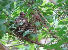 Cardinals tending to their babies 11