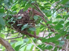 Cardinals tending to their babies 12