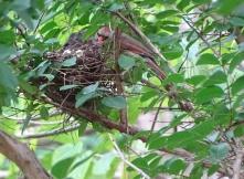 Cardinals tending to their babies 12