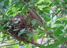 Cardinals tending to their babies 13