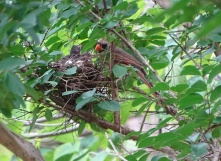 Cardinals tending to their babies 14