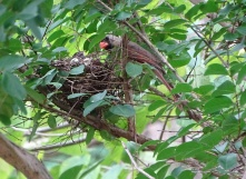 Cardinals tending to their babies 15