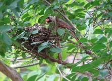 Cardinals tending to their babies 15