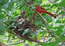 Cardinals tending to their babies 2