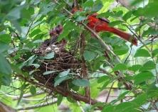 Cardinals tending to their babies 2