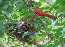 Cardinals tending to their babies 3