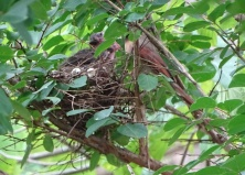 Cardinals tending to their babies 5