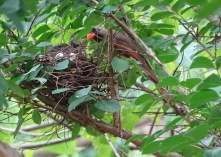 Cardinals tending to their babies 6