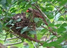 Cardinals tending to their babies 6