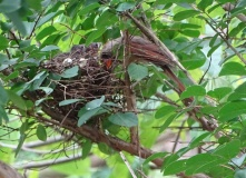 Cardinals tending to their babies 7
