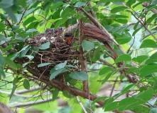 Cardinals tending to their babies 7