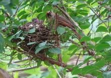 Cardinals tending to their babies 8
