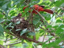 Cardinals tending to their babies 9
