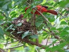 Cardinals tending to their babies 9