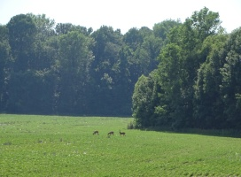 Deer in the soybeans