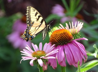 Eastern Tiger Swallowtail on purple coneflower 1