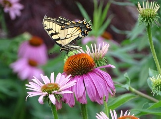 Eastern Tiger Swallowtail on purple coneflower 2