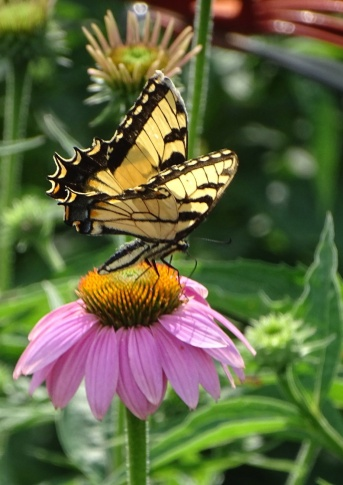 Eastern Tiger Swallowtail on purple coneflower 3